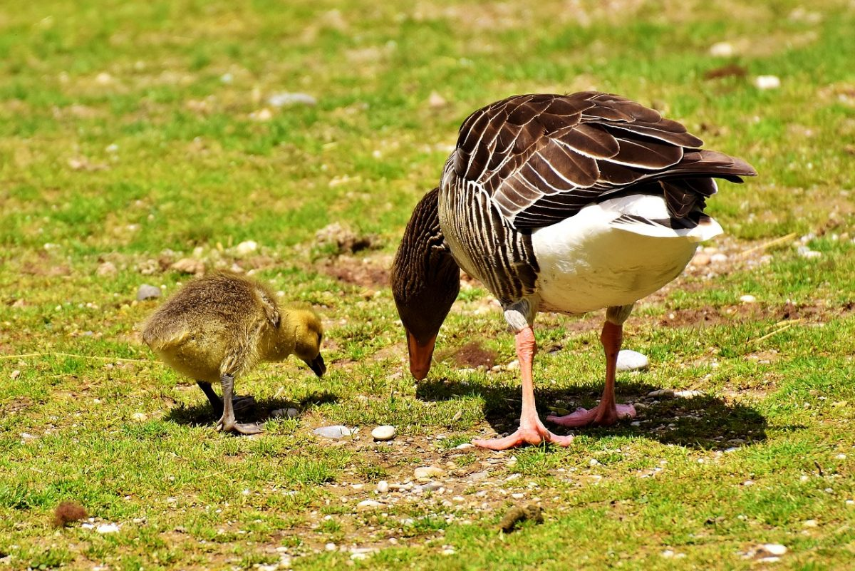 Goose and gosling symbolize mediating child support